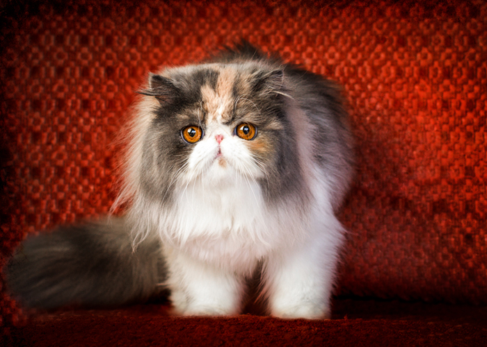 cat pet photography in corona