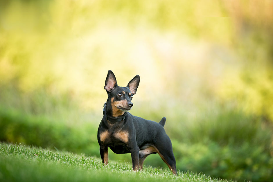 pet photography min pin