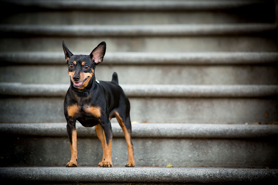 pet photographer min pin