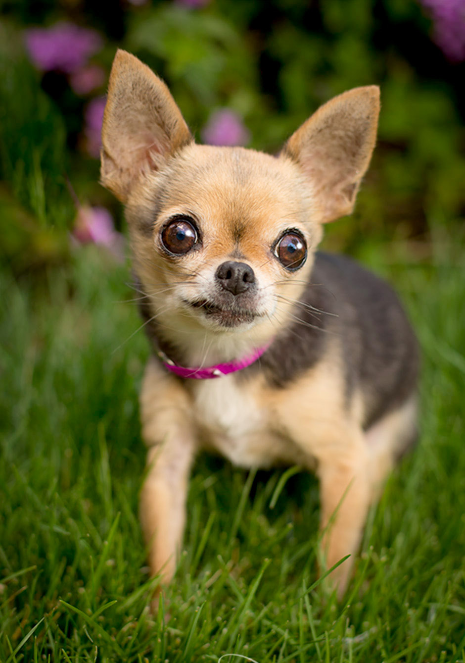 chihuahua pet photography