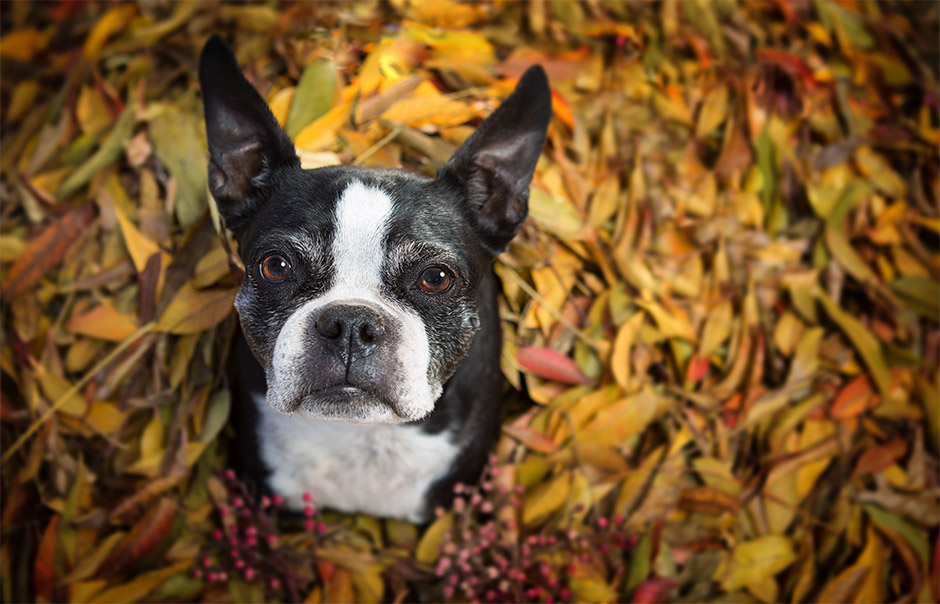 boston terrier pet photography in corona