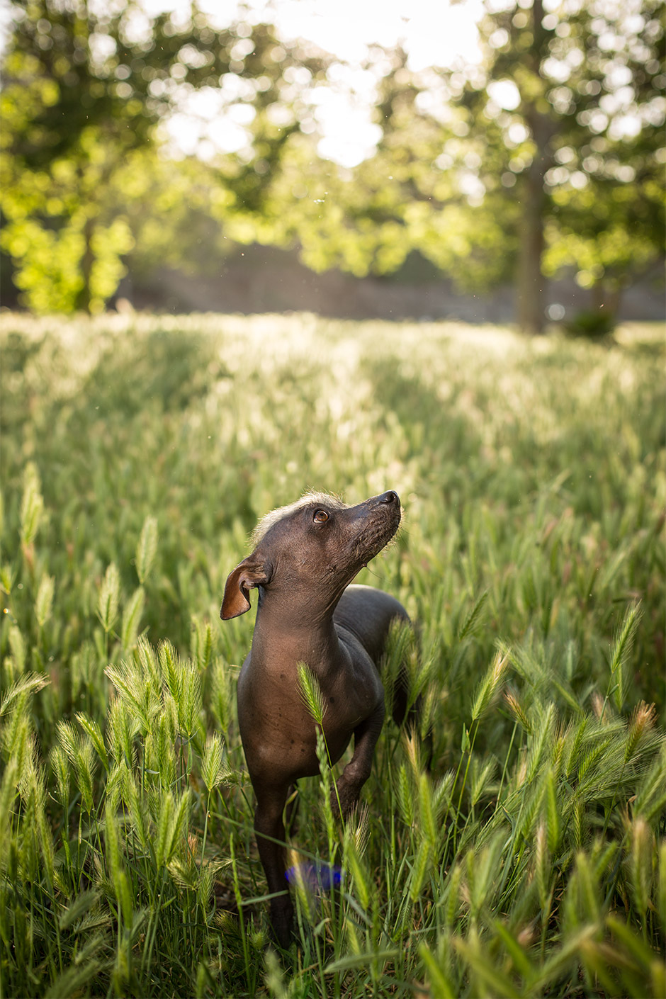 mexican hairless pet photography in redlands