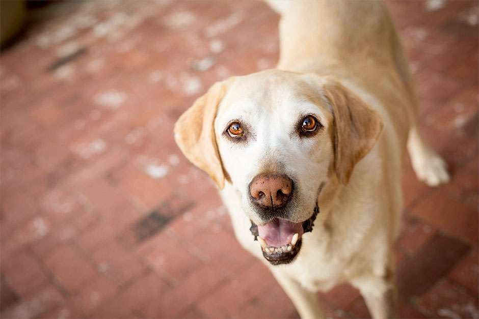 labrador pet photography in riverside