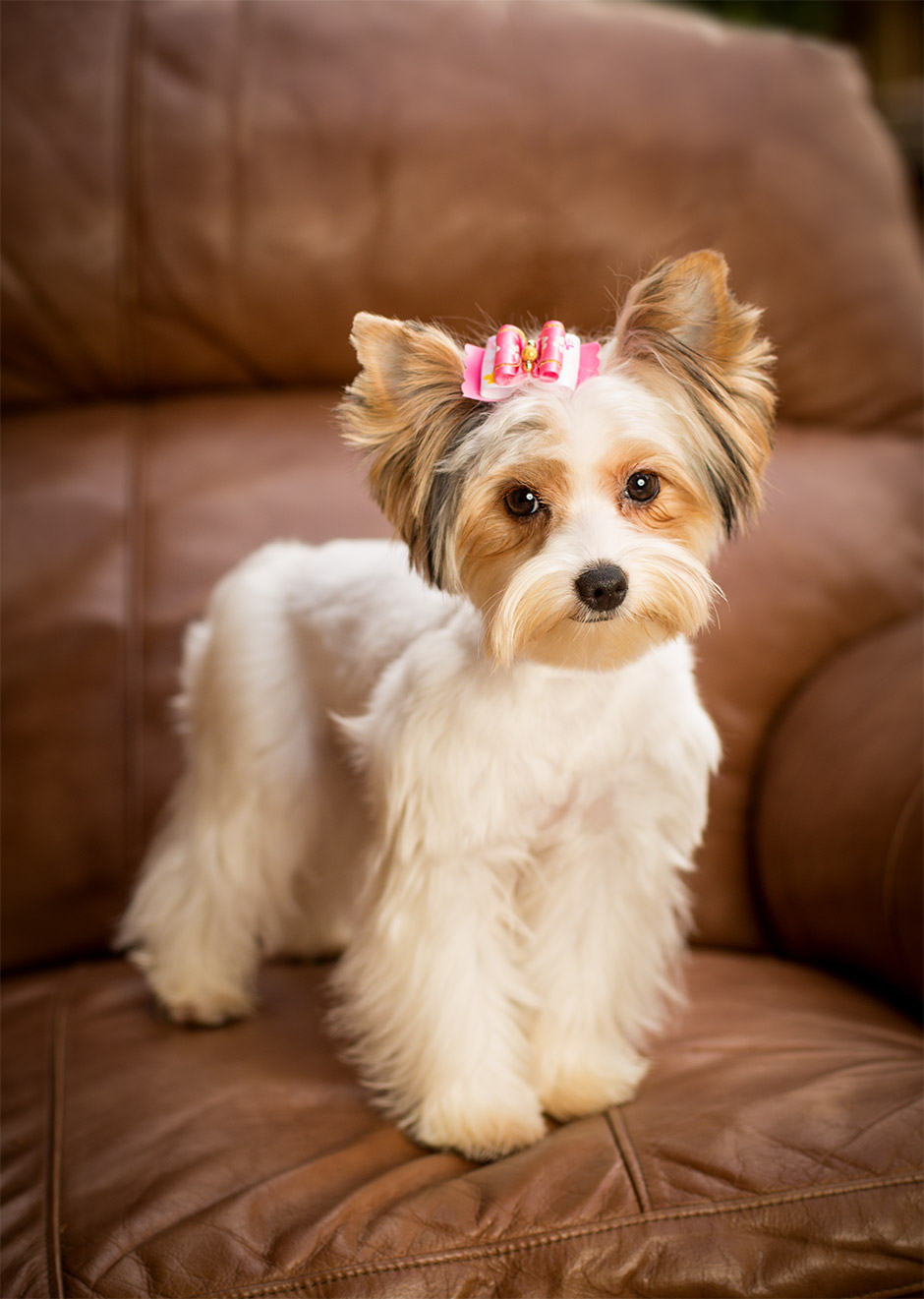 pet photography yorkie in corona