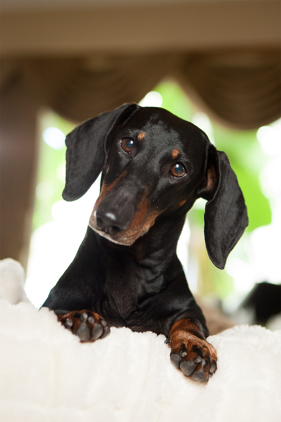 dachshund pet photography in murrieta